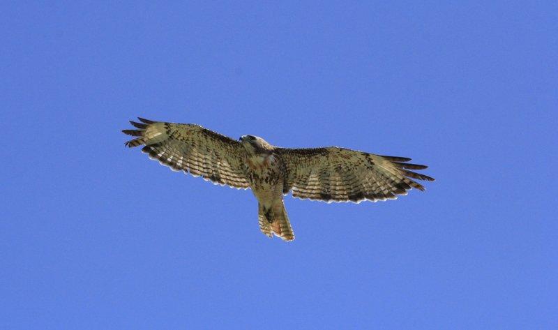 Beautiful Hawks